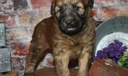 .vxcjfdstyr Soft Coated Wheaten Terrier Puppies For Sale