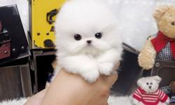 wasoli White Parti TINY TEACUP Pomeranian Puppies With