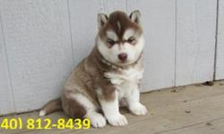 wehbwq Home Train Husky puppy