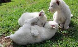 well tamed lion cubs for sale