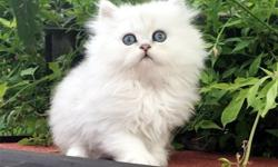 Well Trained Persian kittens For Sale