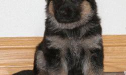 West German Line Shepherds