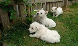 West Highland Terrier Puppies -Top Litter