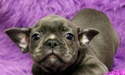 whjwrgvv French Bull Dog Puppies