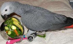 Winv Friendly African Grey Parrots For New Home