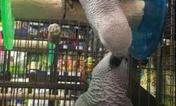 Wonderful M/F Congo African Grey Parrots