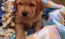 wxynux Brilliant Golden Retriever puppies for homes