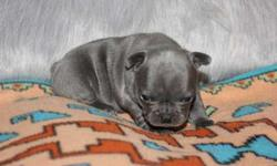 XCSDSyddytsdVCRSR Adorable Male and Female French Bulldog