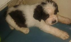 XLHDAPOLLON St. Bernard Puppies For Sale