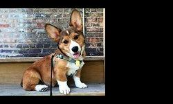 xvgd welsh corgi puppies for sale