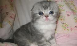 XVGJIUOOKU Scottish Fold kittens in various color Available