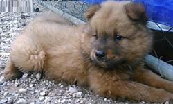 .yhtrtrete Chow Chow Puppies For Sale