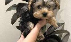 Yorkie Female 3.5 month old