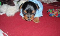 yorkie male puppies up for deposits