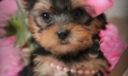YORKIE PUPPIES ** Yorkshire Terrier PUPS Available only for
