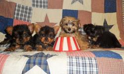 Yorkie Purebreed Pups and SHorKie Pups. TCUP/Toy SIze