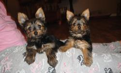 Yorkshire Terrier female puppies