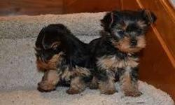 Yorkshire terrier puppies (10 weeks old for sale)