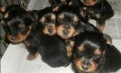 .........:Adorable Yorkshire Terrier pups