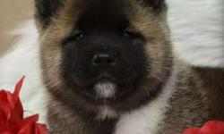 yxny Brilliant Akita puppies for homes