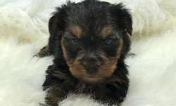 yzxyny Brilliant Yorkshire Terrier puppies for homes
