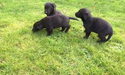 Zaria Labradore Retriever puppy for good home