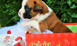 zbdhkhei AKC Boxer puppies for sale this Christmas