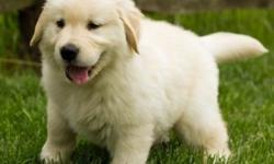 zcsdc Male and Female Golden Retriever Puppies Available