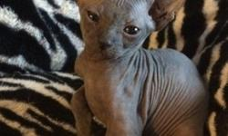 zdfrw Sphynx kittens available for good homes