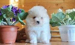 ziggy Puppy Heaven - Heavenly Teacup & Toy pomeranian