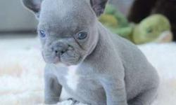 Zily Blue French Bulldog Puppies