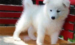 zlrgbzli Home trained Samoyed puppies for sale this