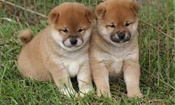 zmvjhhjawq Shiba Inu Puppies Male And Female Available