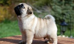 zqxsyxugdhsgdvsbccdhgh Excellent Pug Puppies for sale