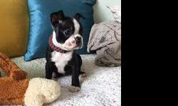 zvash boston terrier puppies for sale