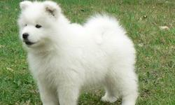 zxaswwhxdgbgshghgdsx Exquisite Samoyed Puppies for sale