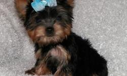 zxwxzt lovely Yorkshire Terrier puppies available