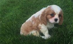 zzxxnb Sweet cavalier-king-charles-puppies